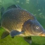 конзумна риба